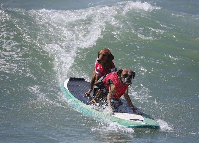 Собаки- серфінгісти на змаганнях в Huntington Beach 2014