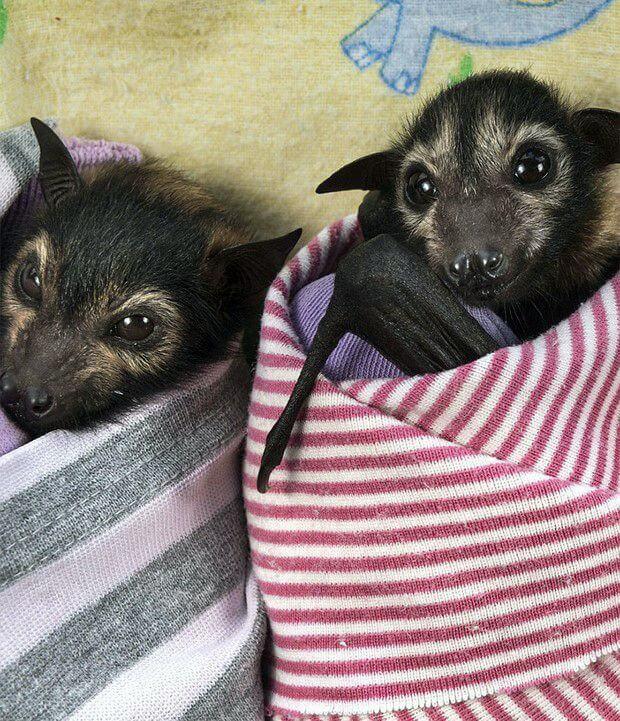 Летюча лисиця в австралійському притулку Tolga Bat Hospital