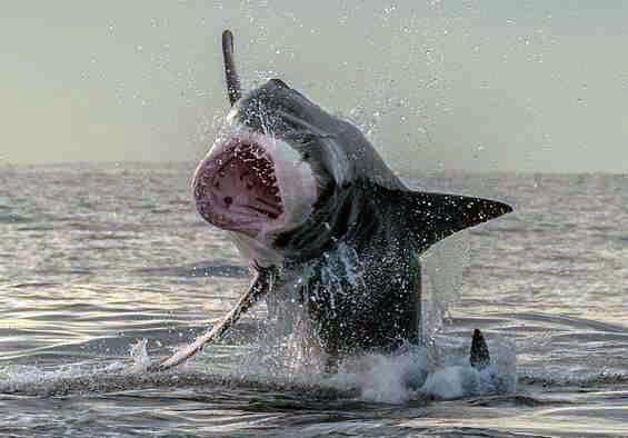Тюлень вислизнув від акули - дивовижні фото