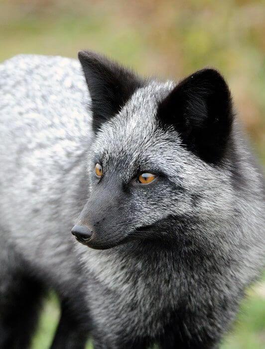 Рудо-чорно-біла - 7 видів чарівною лисиці