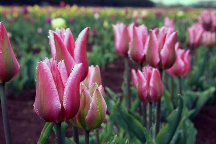10 кращих сортів тюльпанів