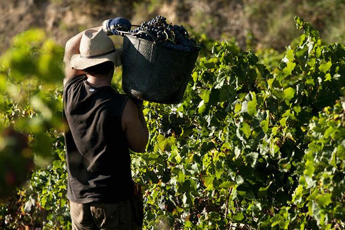 Збір винограду в Іспанії