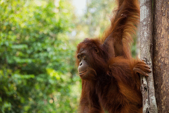 Орангутанг на Борнео, Малайзія
