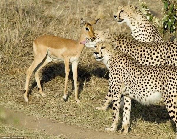 Неймовірна історія трьох братів гепардів