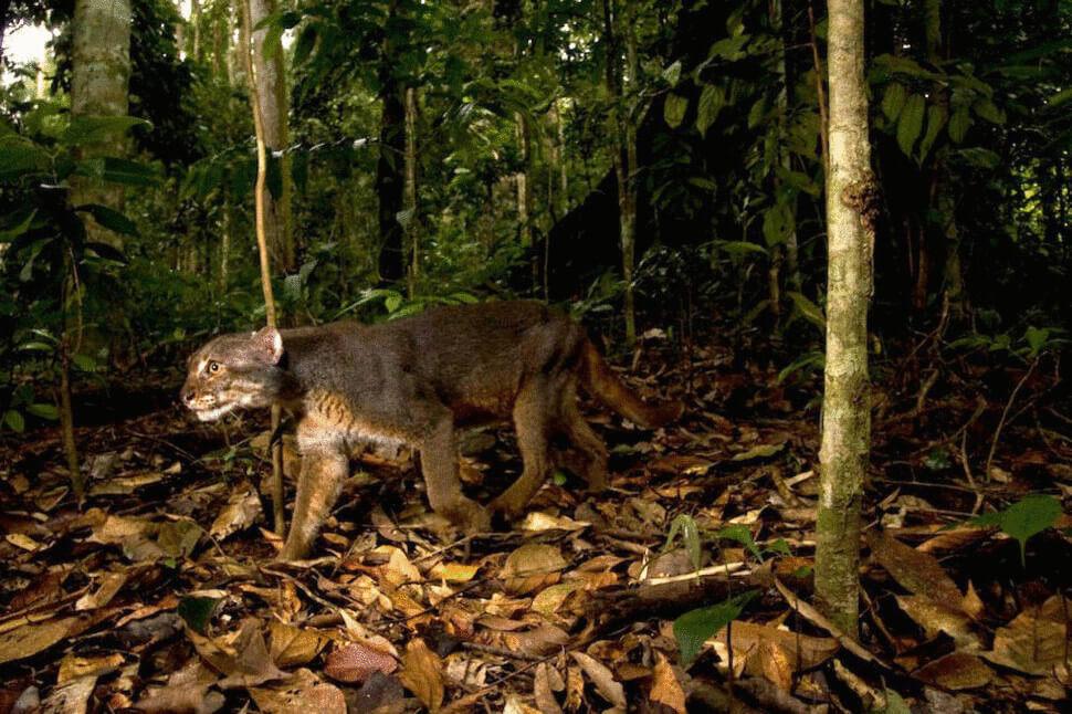 26 приголомшливих порід кішок на межі зникнення